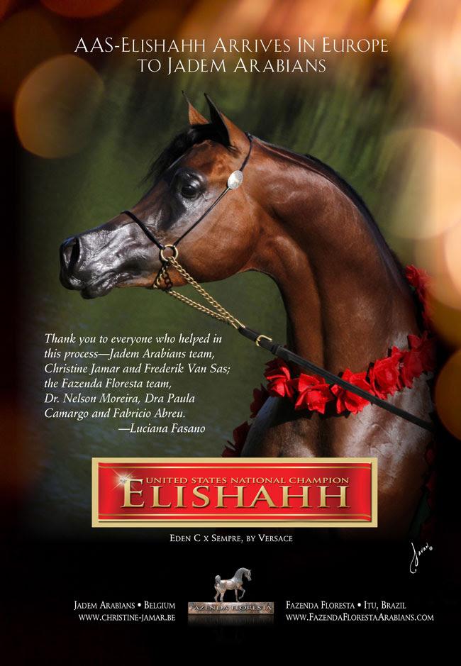 Jadem Arabians Welcomes AAS-Elishahh To Europe
